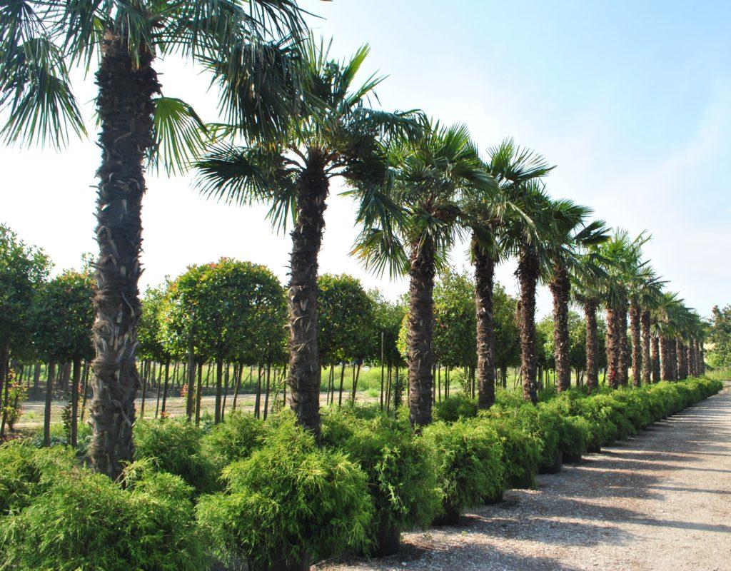 Piante Palme : Piante mediterranee e palme chiti