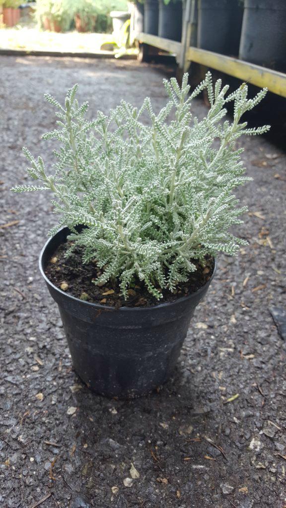 Piante Aromatiche Perenni : Erbacee perenni graminacee piante aromatiche