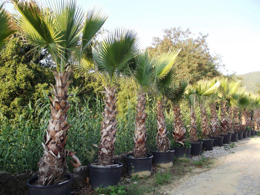 piante mediterranee e palme chiti piante