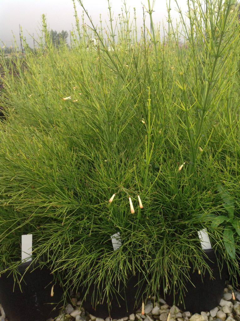 Piante Aromatiche Perenni Elenco : Erbacee perenni graminacee piante aromatiche