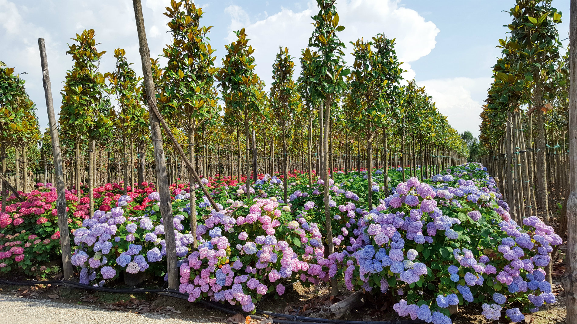 Alberi e arbusti sempreverdi chiti piante for Piante da frutto pistoia